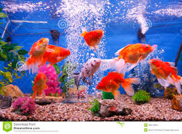 goldfish fish tank royalty free stock image image 26914846