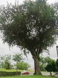 alien u201d tree species arrived in singapore over 100 years ago u0026 now
