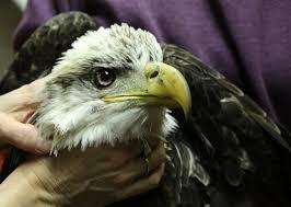 Nj Backyard Birds by Injured Bald Eagle Rescued From N J Backyard After 3 Day Effort