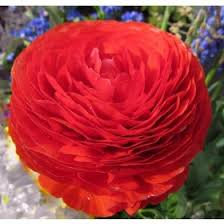 buy online mix ranunculus flower bulbs at lowest price