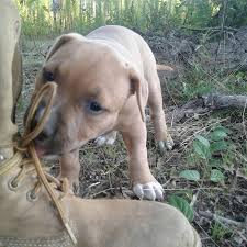 american pitbull terrier hoobly american pitbull terrier bully pup for sale in hoobly classifieds