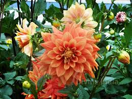 talkatora garden pansy flowers talkatora garden the divine india