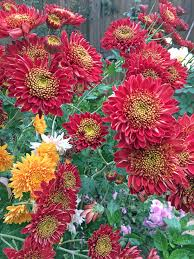 mums flower heirloom mums back in style