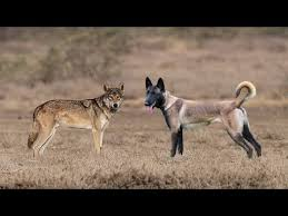 belgian shepherd wolf mix belgian malinois vs indian wolf who would win in a fight youtube