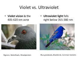 uv light for birds evolution of ultraviolet vision in birds
