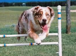 australian shepherd agility heavensent aussies breeders of quality australian shepherd puppies