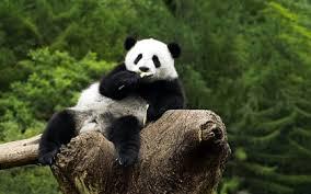 nature animals wildlife panda bears 1680x1050 wallpaper high