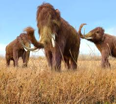 male woolly mammoths lived fast died young left corpses