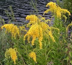 native american medicinal plants forgotten plants the native americans used for medicine