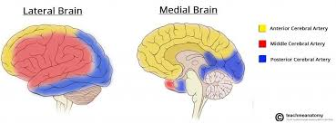 Which Part Of The Brain Consists Of Two Hemispheres The Cerebrum Lobes Vasculature Teachmeanatomy