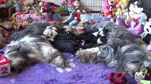 bearded collie mini bearded collie puppies 13 january 2017 youtube