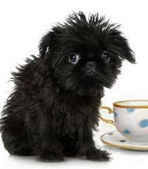 affenpinscher white a list of teacup puppies and teacup dogs and the breeders you