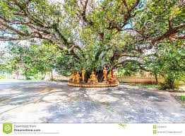 buddha the bodhi tree stock image image of heritage