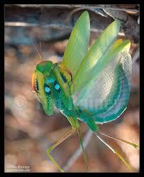 115 best praying mantises images on praying mantis bugs