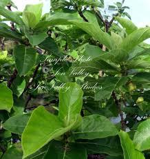 ficus hispida fig tree 10 seeds tropical plant ornamental