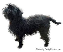 affenpinscher coat type pet grooming products u0026 tips wahlpets com care for my dog