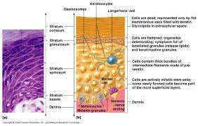 Anatomy And Physiology Cells And Tissues Anatomy Gross Anatomy Physiology Cells Cytology Cell Physiology