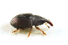 Small Black Bug In Bathroom Rice Weevil Control And Treatments For The Home And Kitchen