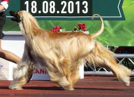 afghan hound trainability new study says short nosed dogs more affectionate make better