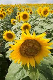 34 best grinter sunflower farm images on pinterest sunflowers