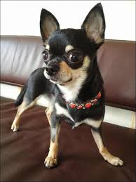 short haired chorkie 112 best chorkie images on pinterest chihuahua dogs little dogs