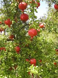 What Fruit Trees Grow In Texas - 26 best images about pomegranate on pinterest gardens
