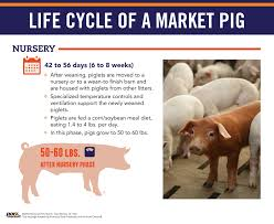 life cycle of a market pig pork checkoff