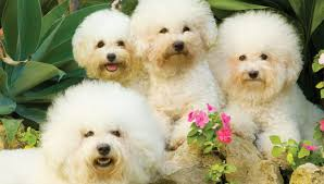 bichon frise fluffy bichon à poil frisé the little fluffy pooch u2013 dogs and pups magazine