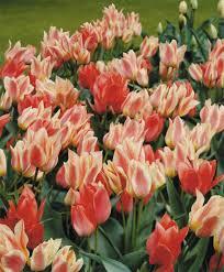 tulip toronto greigii tulips tulips flower bulb index