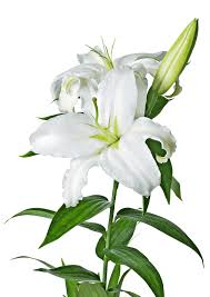 Lilies Flower White Lily Flower Transparent Png Stickpng