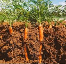 A Root Vegetable - world carrot museum description of carrot root