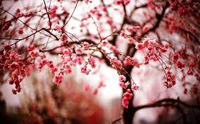 cherry blossom wallpaper night wallpapers mobile