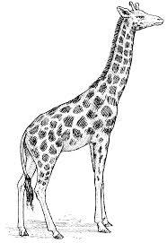 file giraffe j 707 psf png wikimedia commons