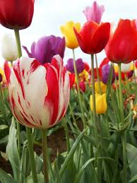 tulip festival map 20 best the wooden shoe tulips woodburn oregon my home town
