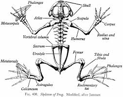 does a frog have a skeletal system is it similar to the human
