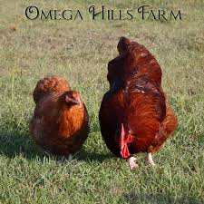 english red cuckoo orpington chickens and hatching eggs for sale