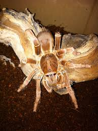 17 Best Images About Spider - 17 best tarantulas images on pinterest metallica spiders and