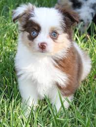 australian shepherd price 81 best toy australian shepherds images on pinterest aussies