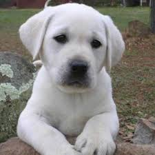 best 25 white lab puppies ideas on yellow lab puppies