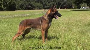 belgian shepherd kennels belgian malinois appearance of the working type youtube