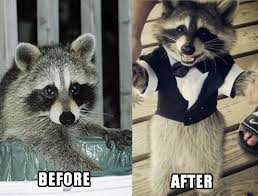Raccoon Meme - raccoons inspired to greatness by guardians of the galaxy neatorama