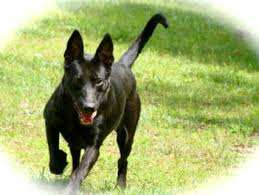 belgian shepherd labrador cross belgian malinois border collie mix border collie dogs mixes