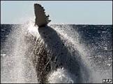 Japão suspende caça de baleias jubarte