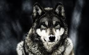 wolf animals wildlife wallpapers hd desktop and mobile backgrounds