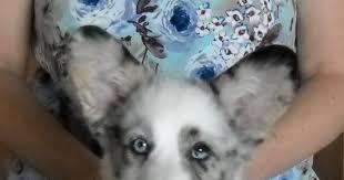 australian shepherd uglies random thoughts on random things ugly puppies