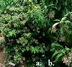 Fragrant Plants Florida - florida native plants nursery