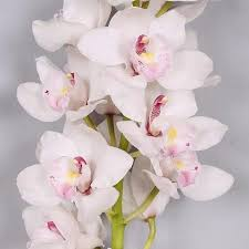 cymbidium orchids cymbidium orchid wholesale orchids miami miami flower market