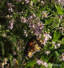 tennessee native plants clay and limestone wildflower wednesday keeper of bees