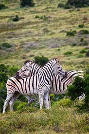 325 best zebras images on pinterest animals wild animals and zebras