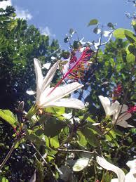 native hawaiian plants alien species usag hi native plantings prevent spread article